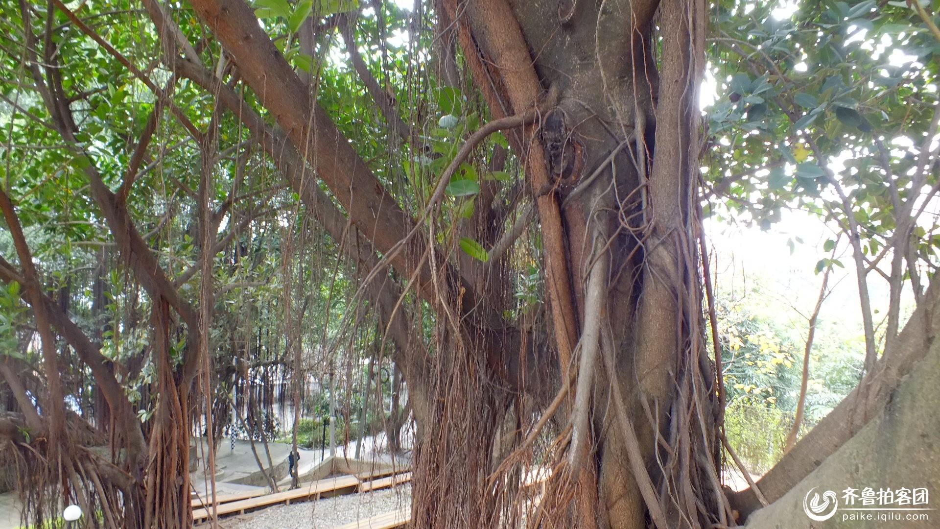 榕树直径图片
