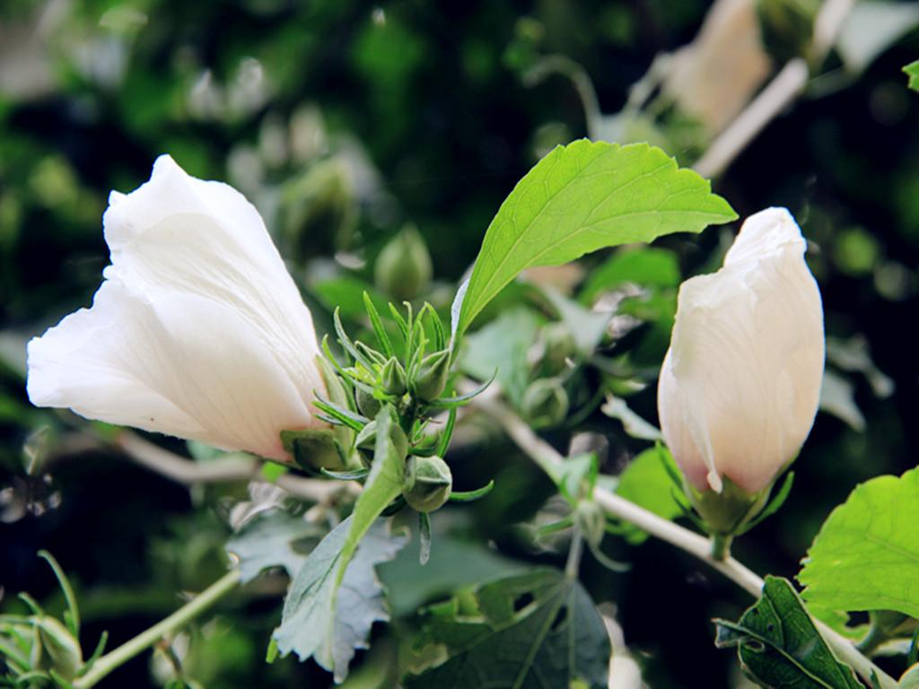 漂亮的白色木槿花