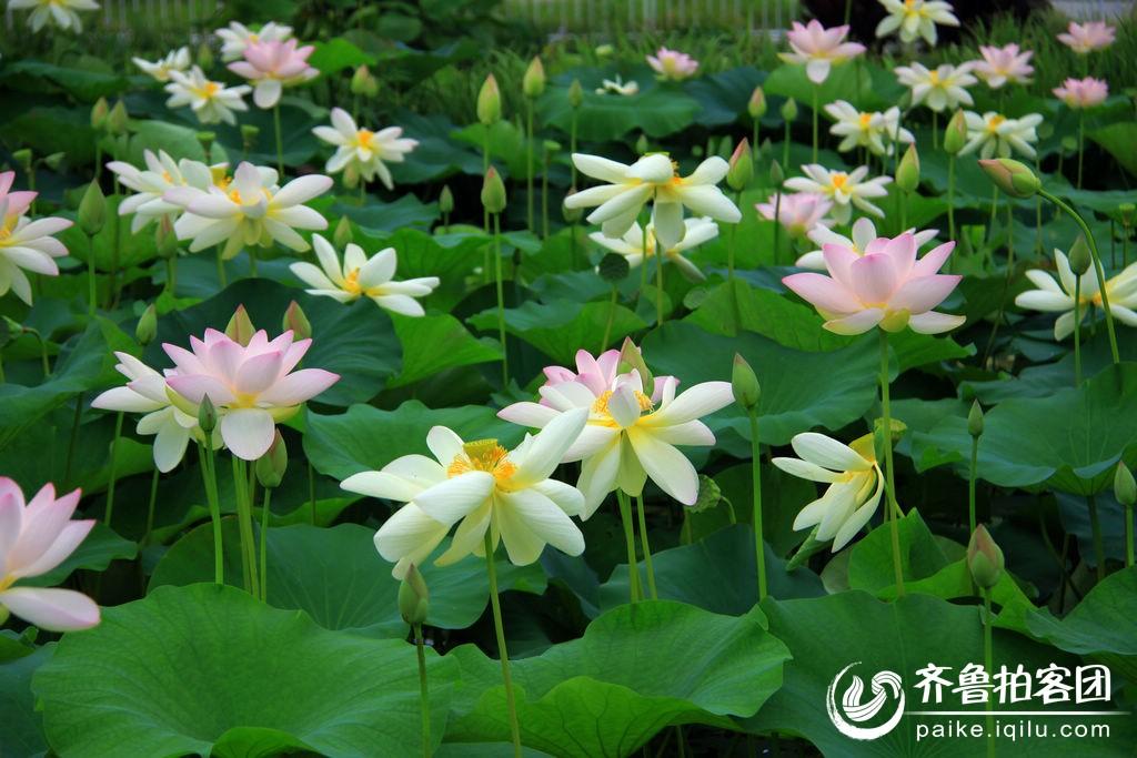 山东海阳河清岛水上植物园的美丽荷花