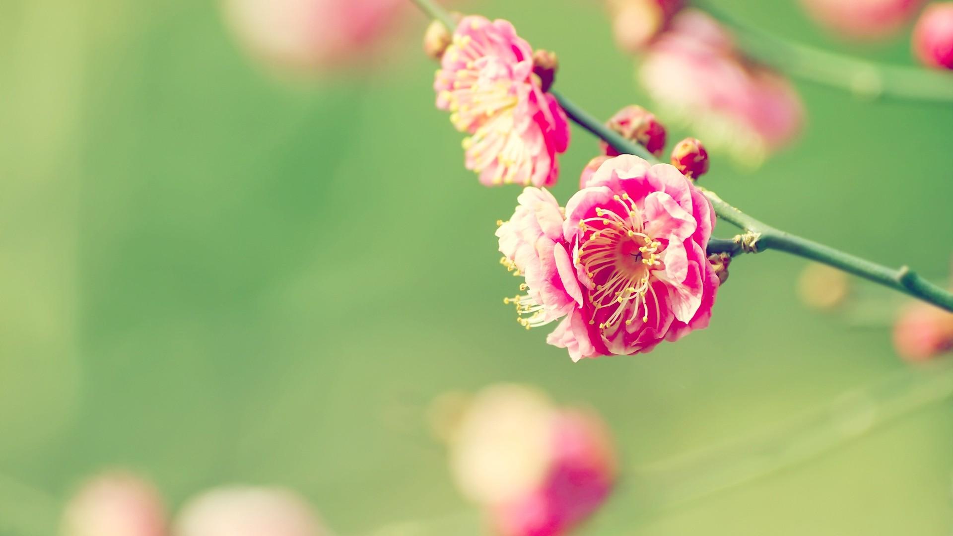 春天里的樱花电脑桌面壁纸