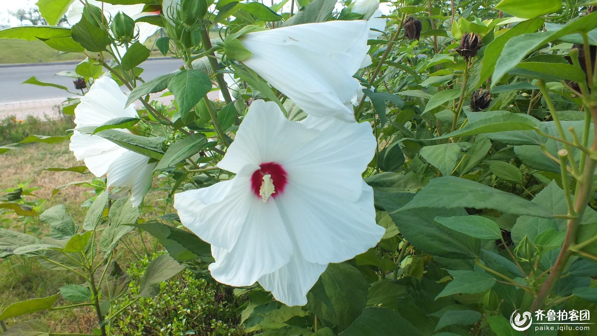 木槿花-白色 - 东营拍客
