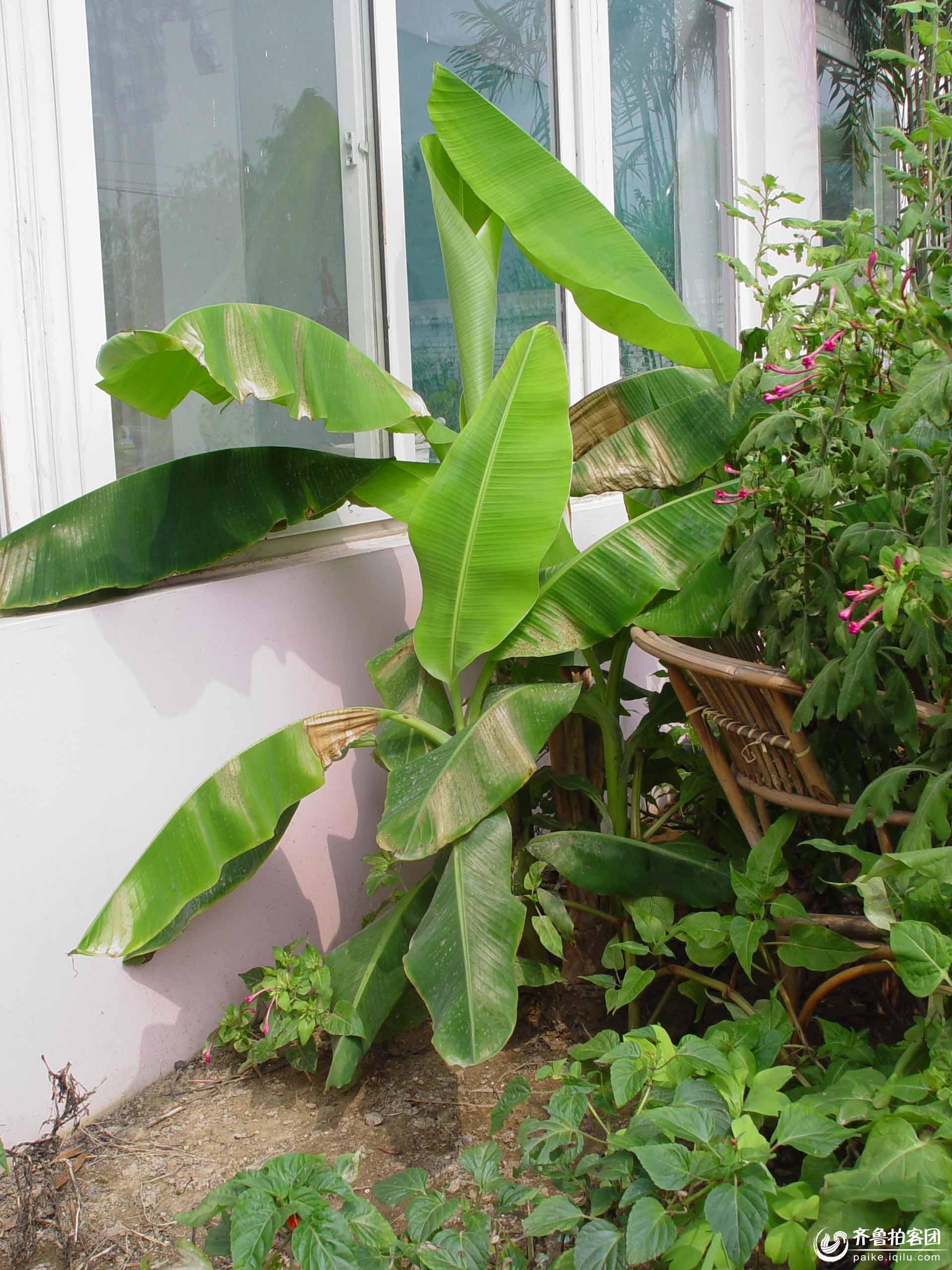 看我的香蕉树