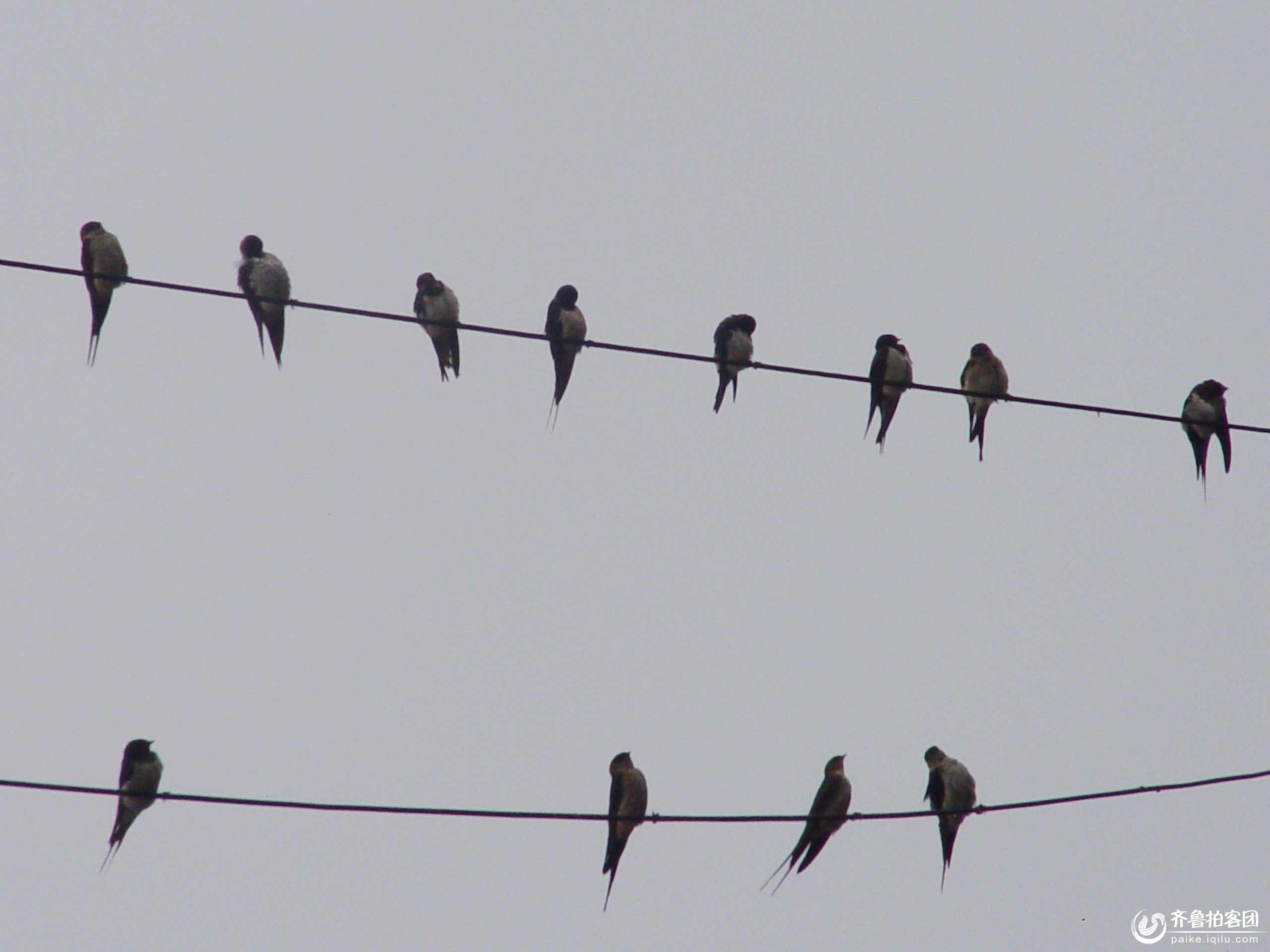 可爱动物雨燕简笔画