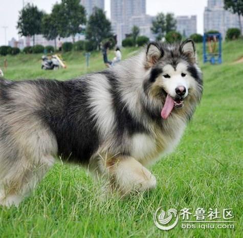 【凡熙犬舍】待售高品质灰色净桃脸阿拉斯加雪橇犬