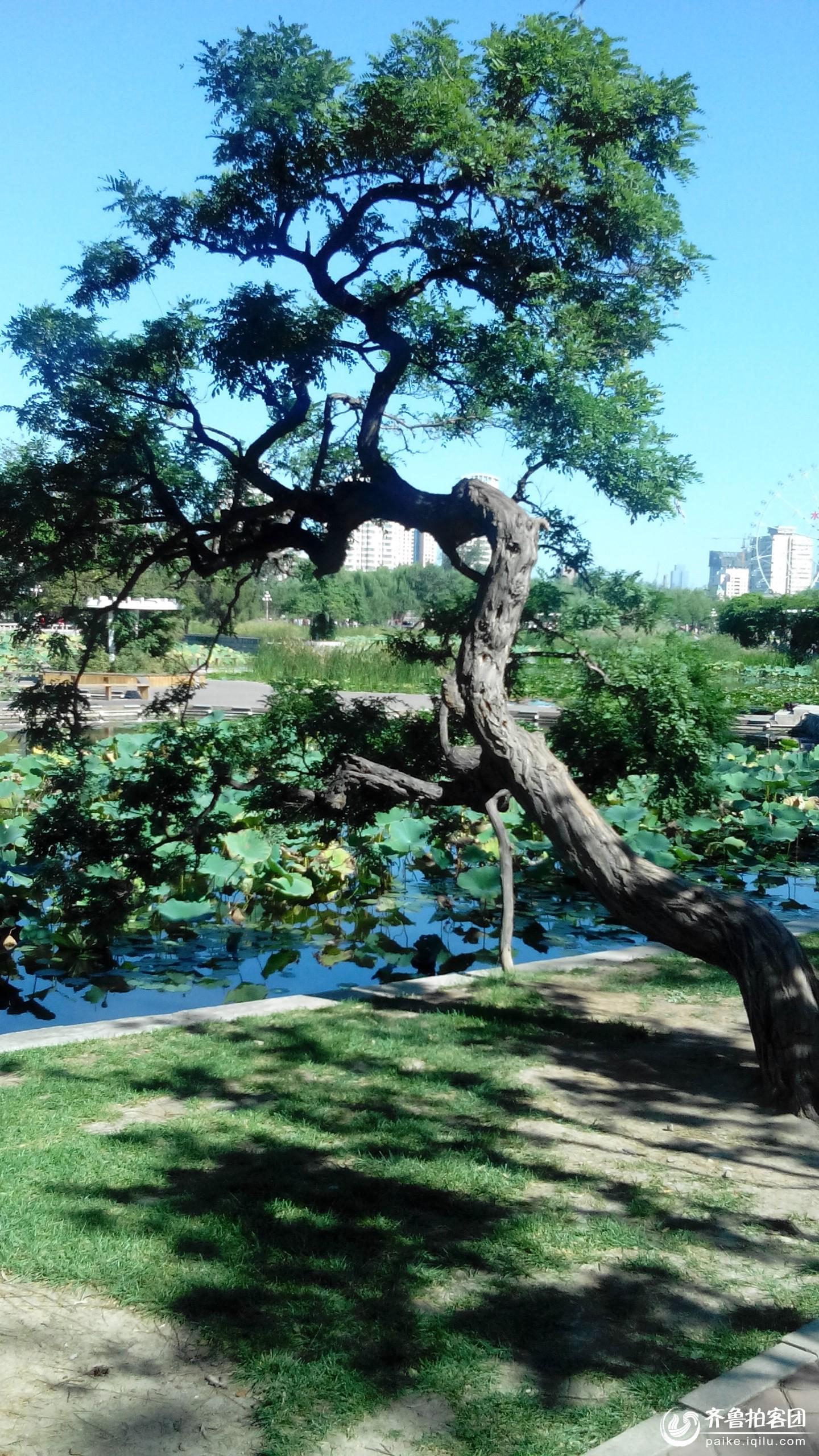 校园松树风景素描画