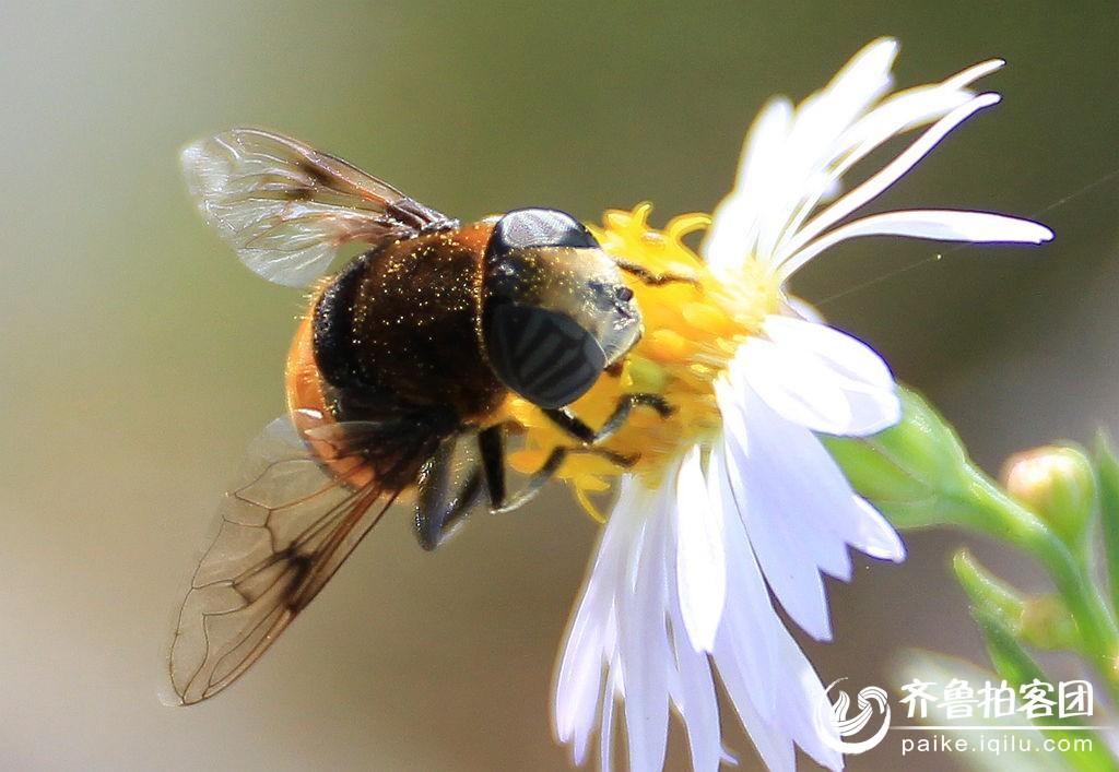 蜜蜂- 德州拍客 - 齐鲁社区 - 山东最大的城市生活,台