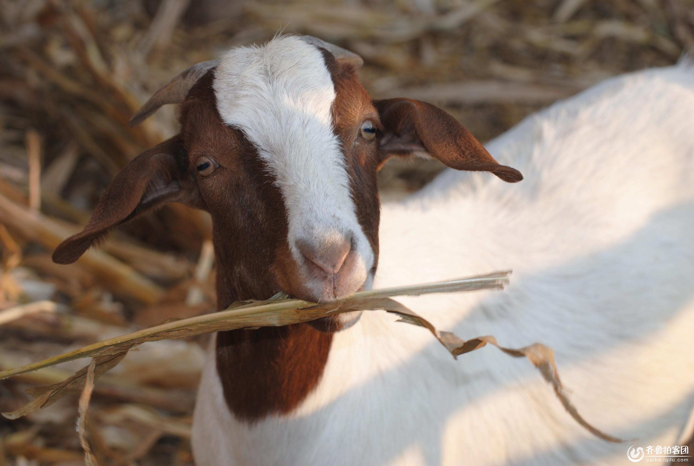 可爱的山羊 - 德州拍客