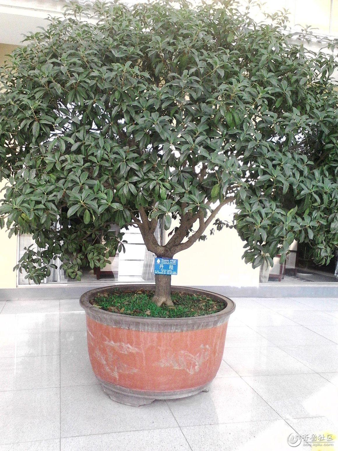 东方瑞海的桂花树