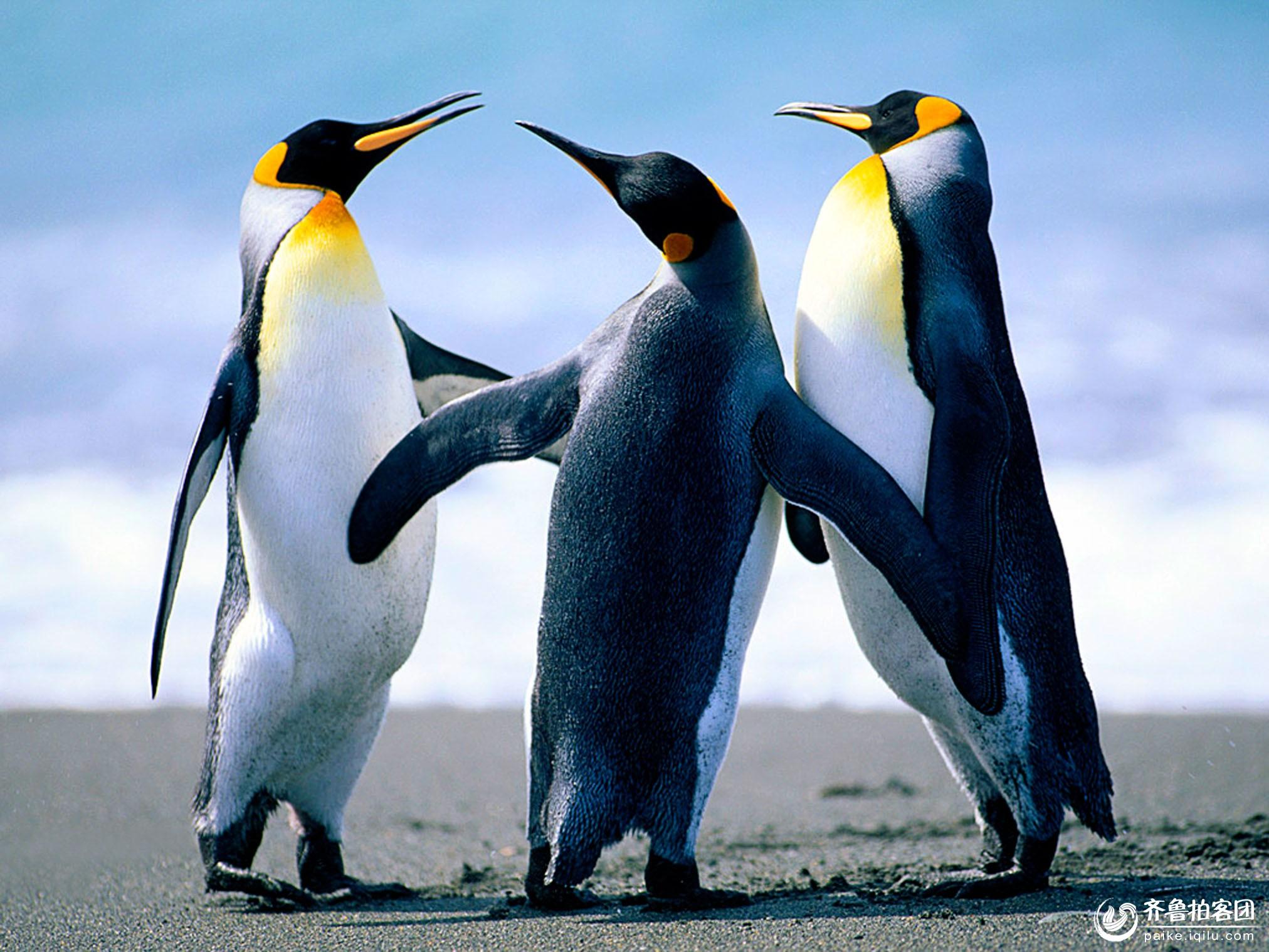 扣扣企鹅黑白图片动物