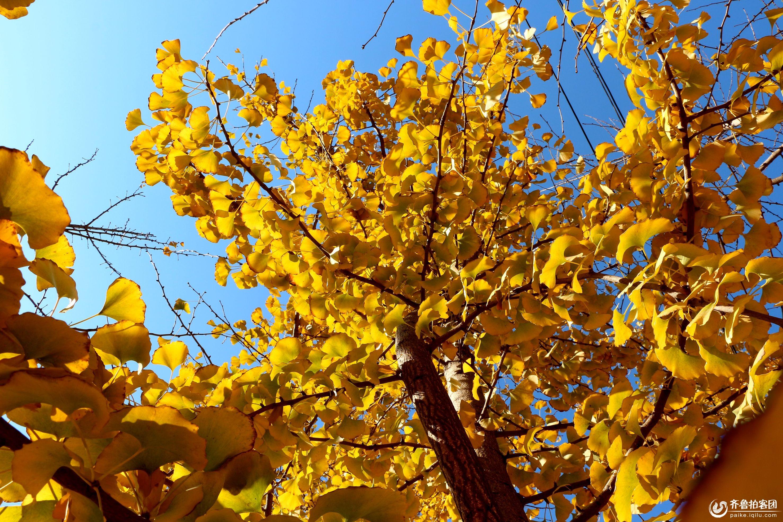 莲花山的银杏树