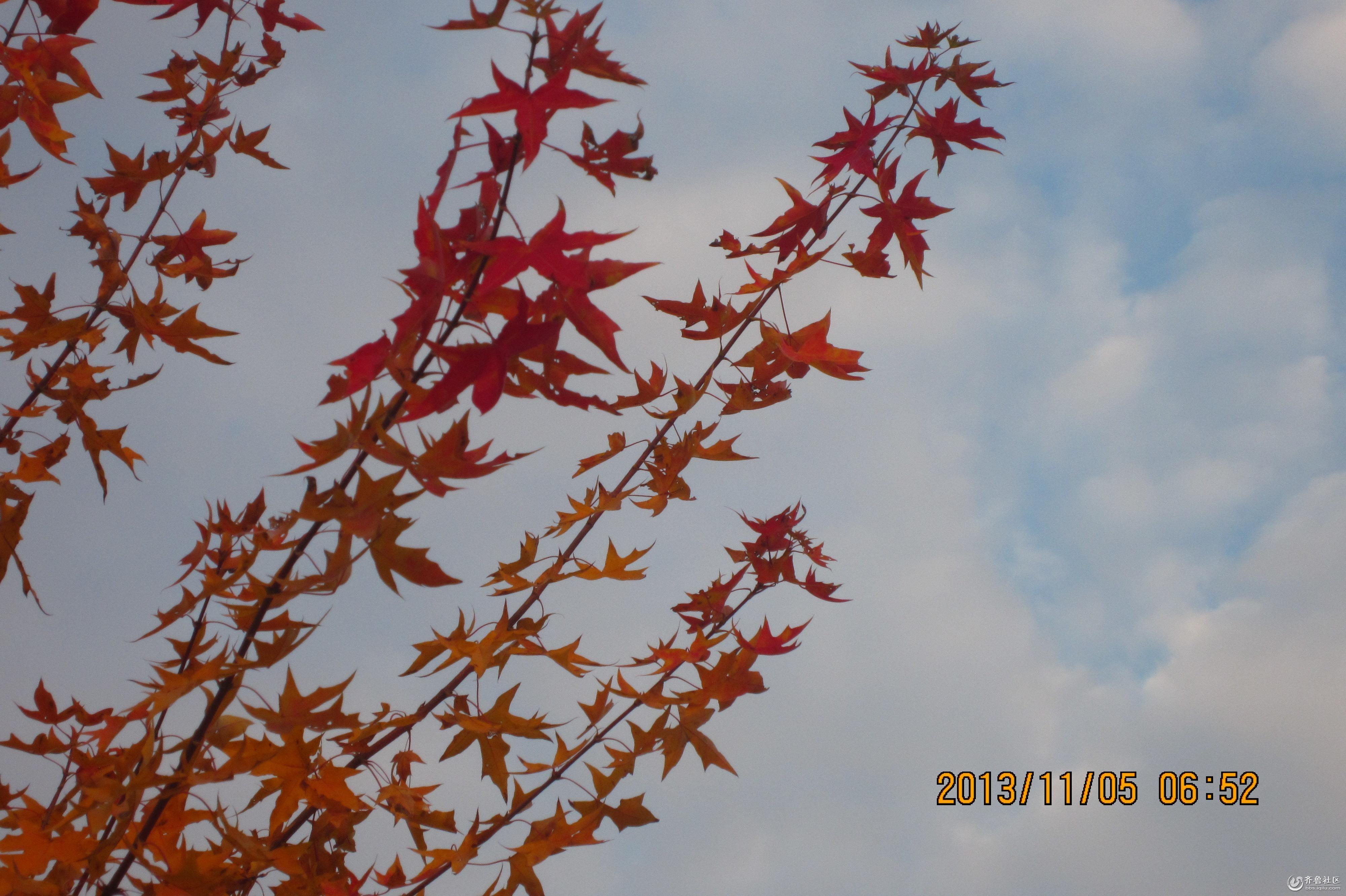 杨城社区广场上漂亮的大树