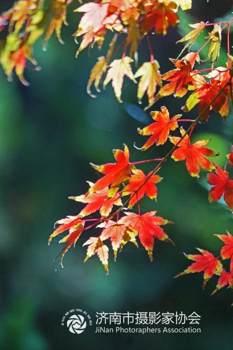 有些品种如红枫叶色常年红艳;而小叶青皮槭叶柄或叶脉出现异色,两色槭