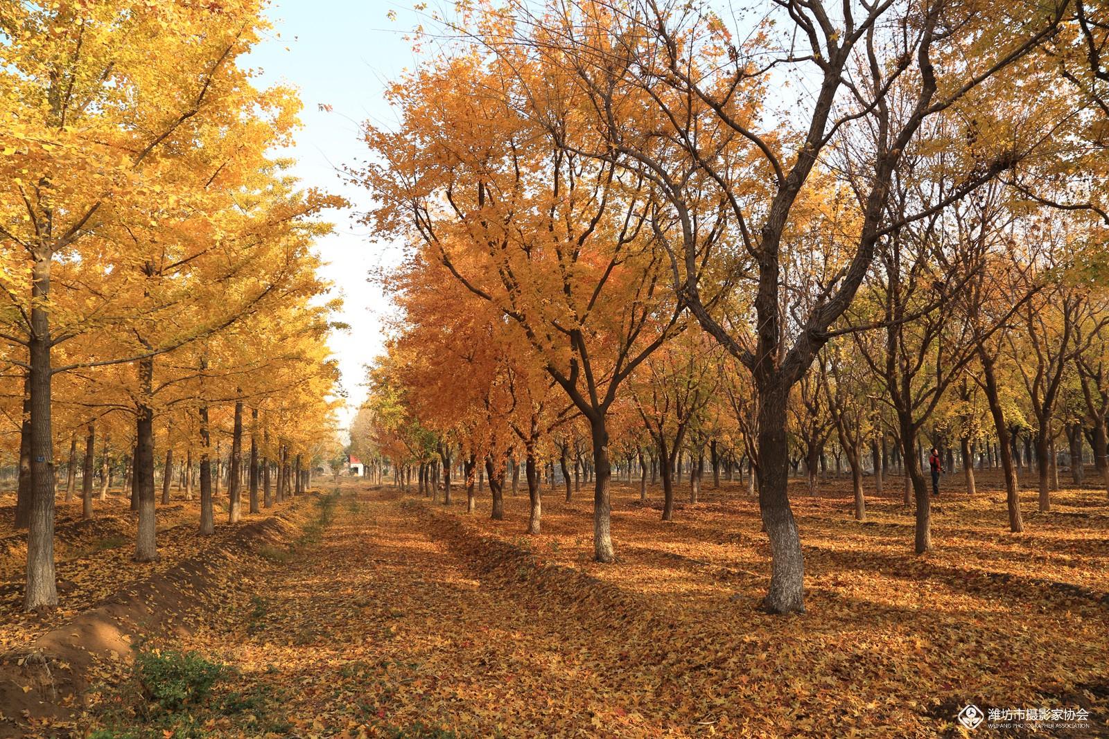 枫叶林风景图片展示