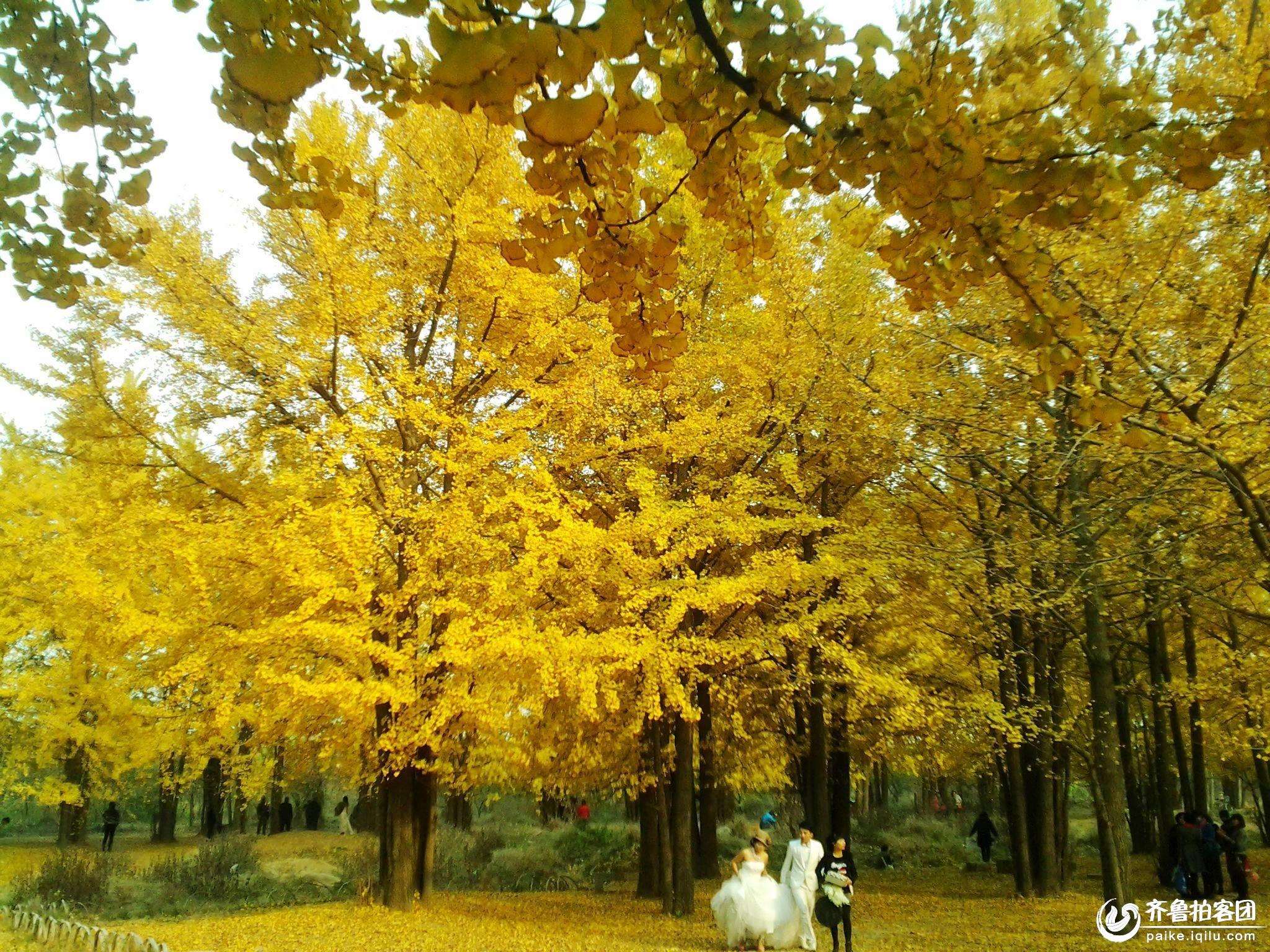 银杏树大道风景画展示