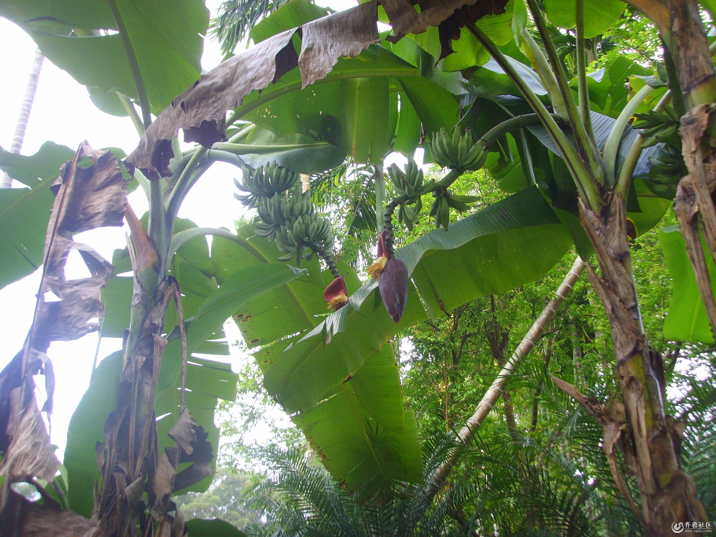 香蕉树你见过吗