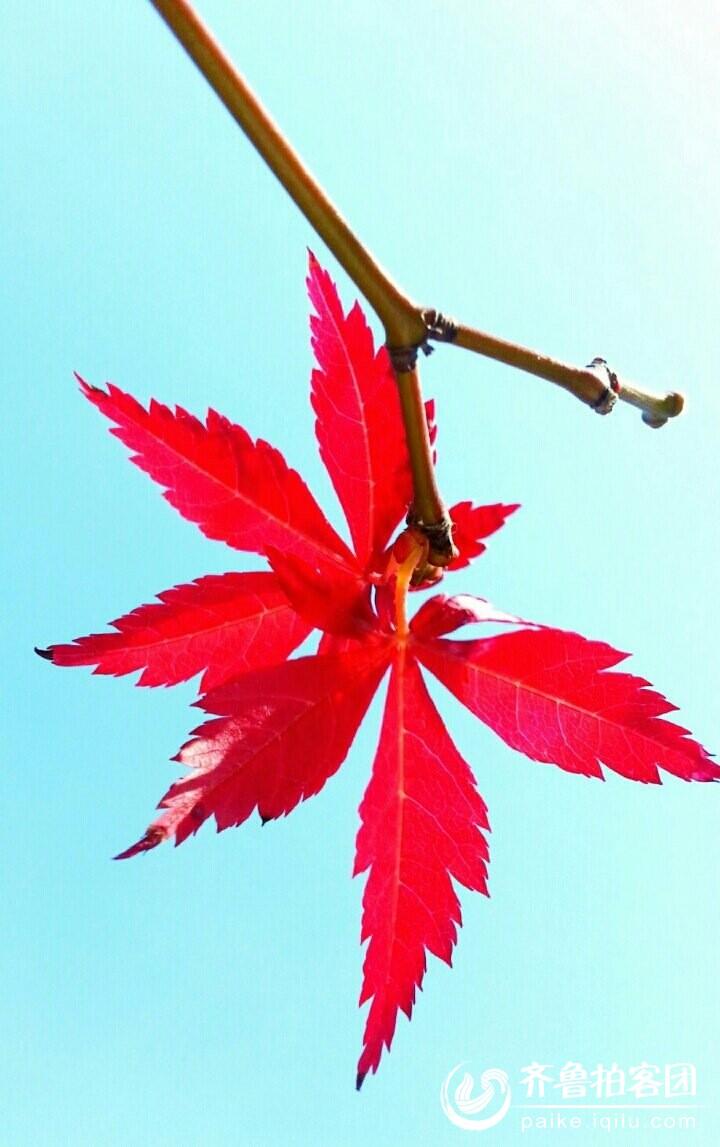 背景 壁纸 枫叶 红枫 绿色 绿叶 树 树叶 植物 桌面 720_1147 竖版 竖