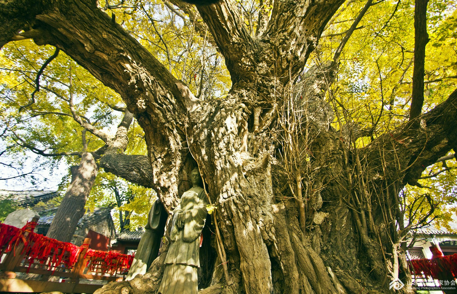 浮来山天下第一银杏树