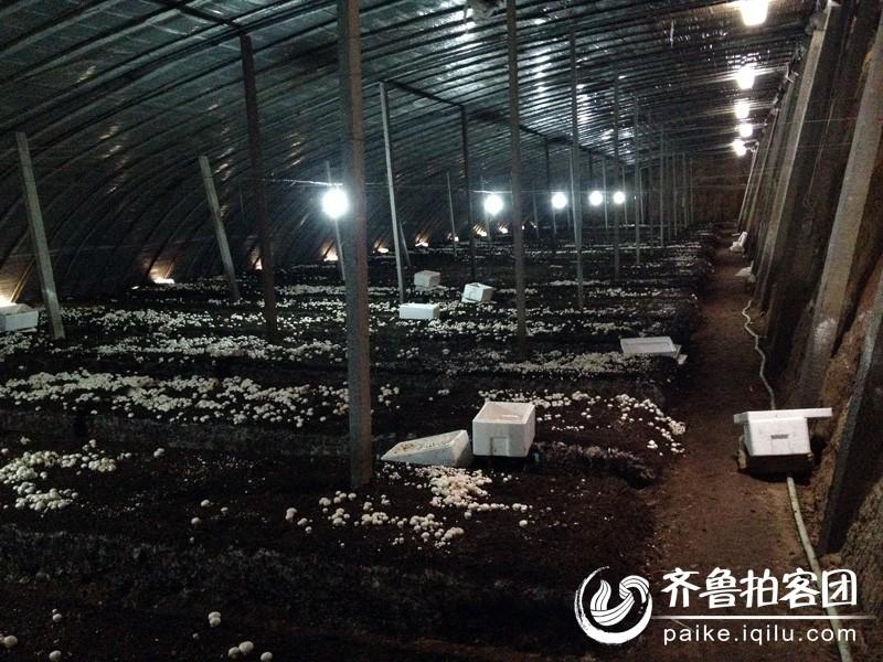 大棚种双孢菇亩产量多少