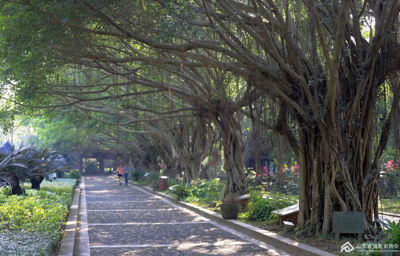 海口火山公园的榕树
