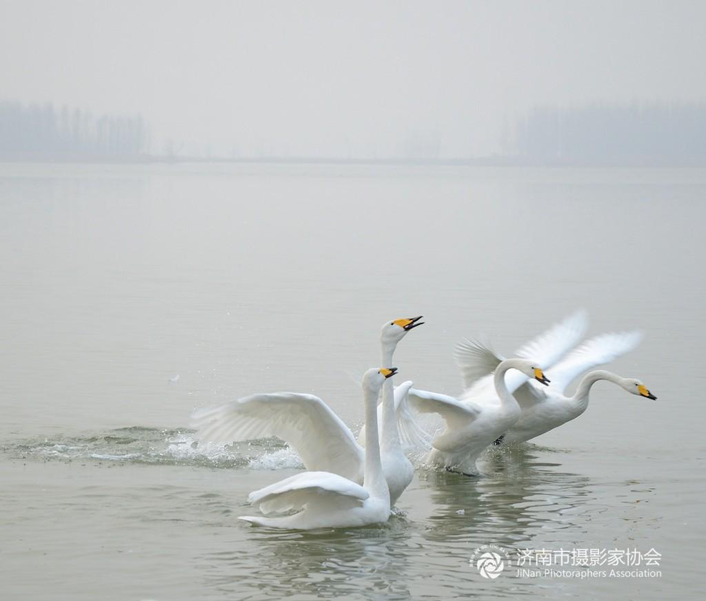 天鹅集中越冬栖息地.每年,西伯利亚(现考证大多为蒙古来)白天鹅不远万里来此越冬。将这里变成了美丽的 天鹅湖,为冬季的黄河湿地增添了和谐与灵动。由于游人村民的投食,天鹅在此乐不思蜀,流连忘返到第二年三月左右才返回遥远的西伯利亚。这里的天鹅属于大天鹅,体重10公斤左右,体态优雅,姿态万千,以家庭为单元,集体游弋,时而飞翔水面,时而引项高歌,彼此追逐嬉闹。很具备观赏价值和韵味!