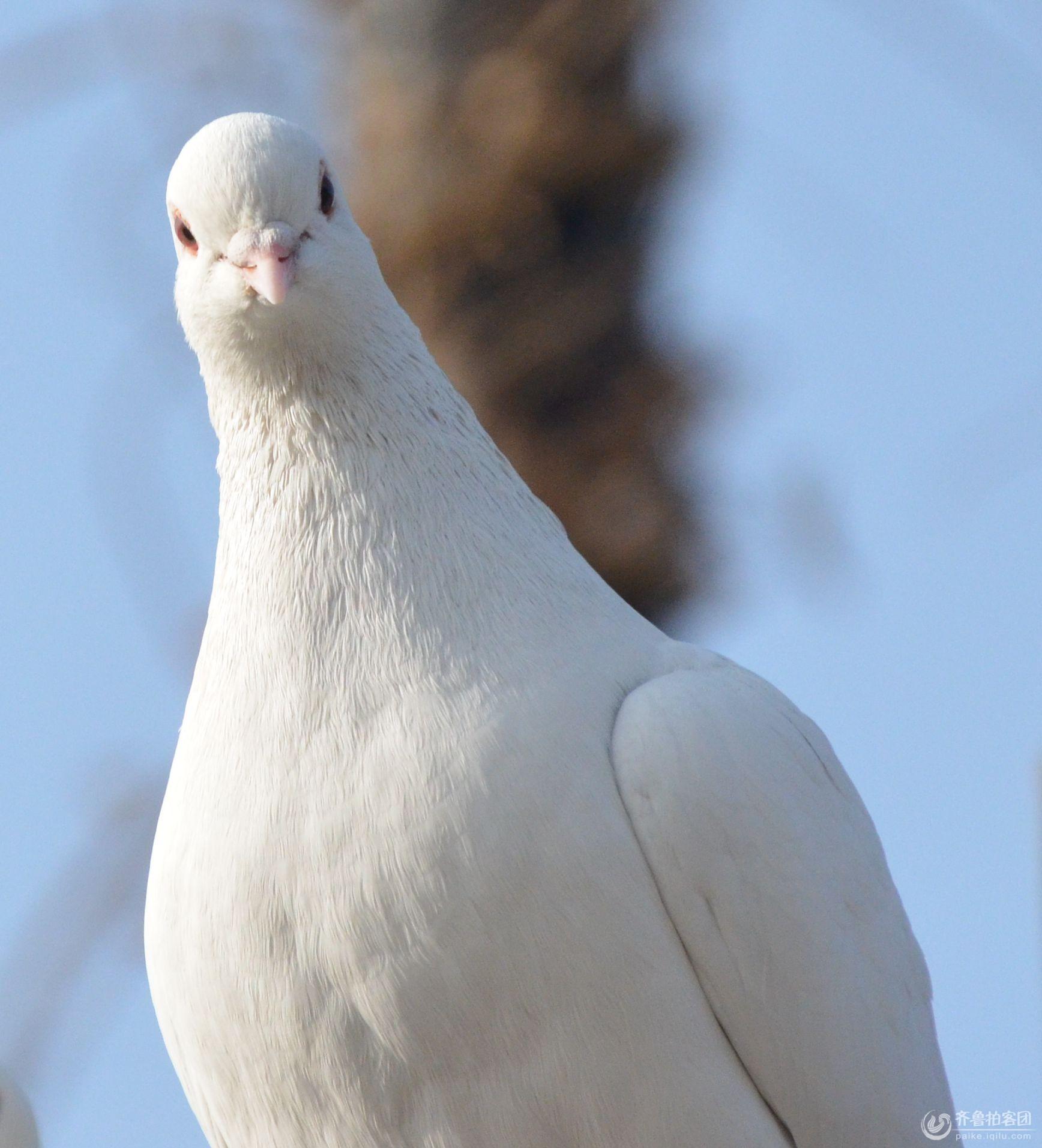 可爱的小白鸽