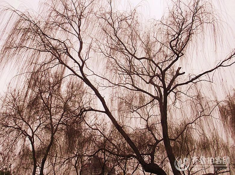 冬天柳树的枝态