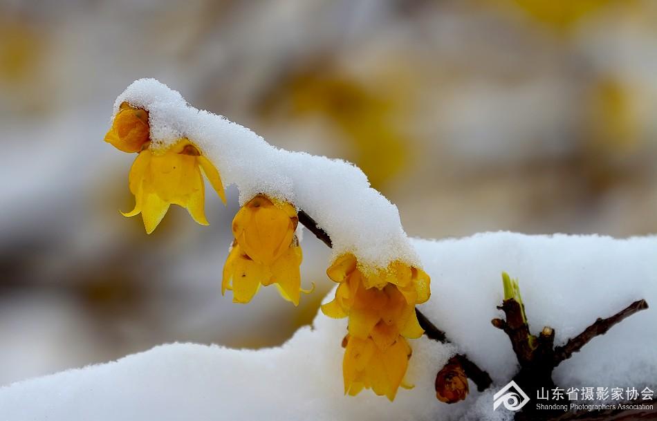 雪霁天晴朗 腊梅处处香