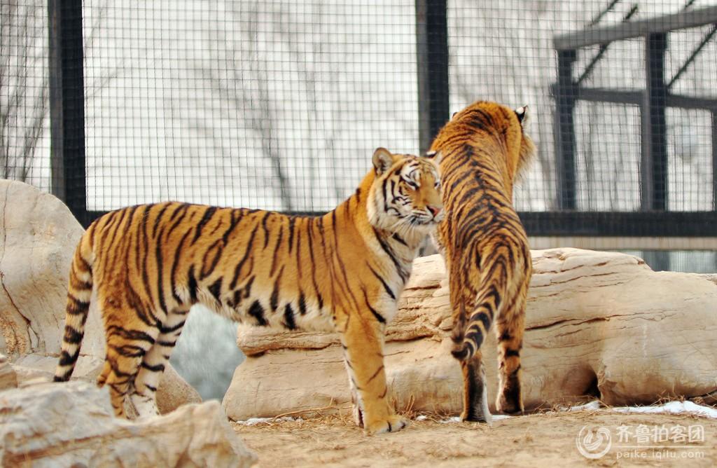 东营黄河三角洲动物园里的东北虎