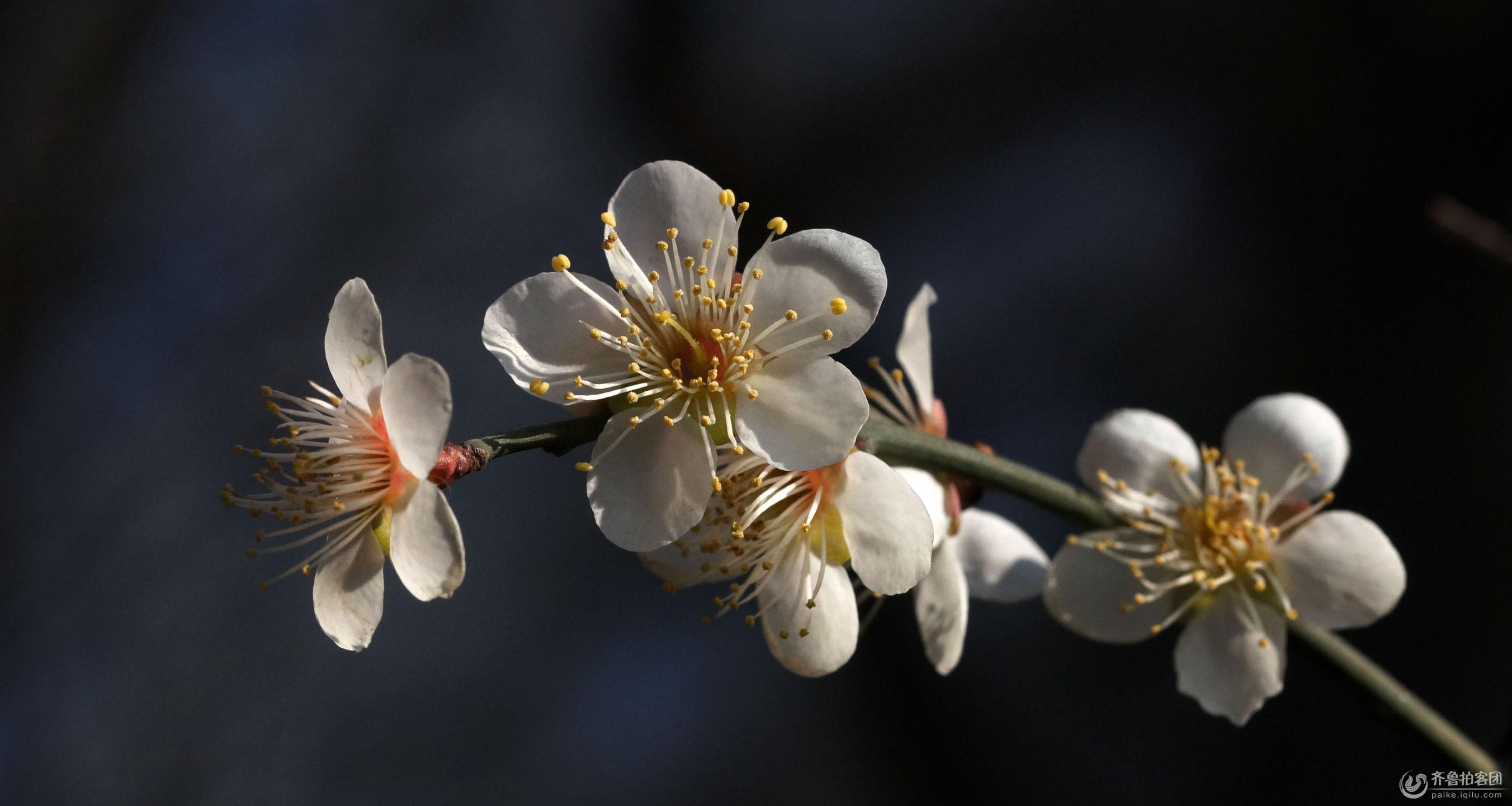 梅花施用有机肥的技术