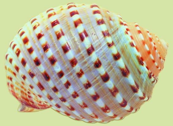 炫彩海螺贝壳[73p]