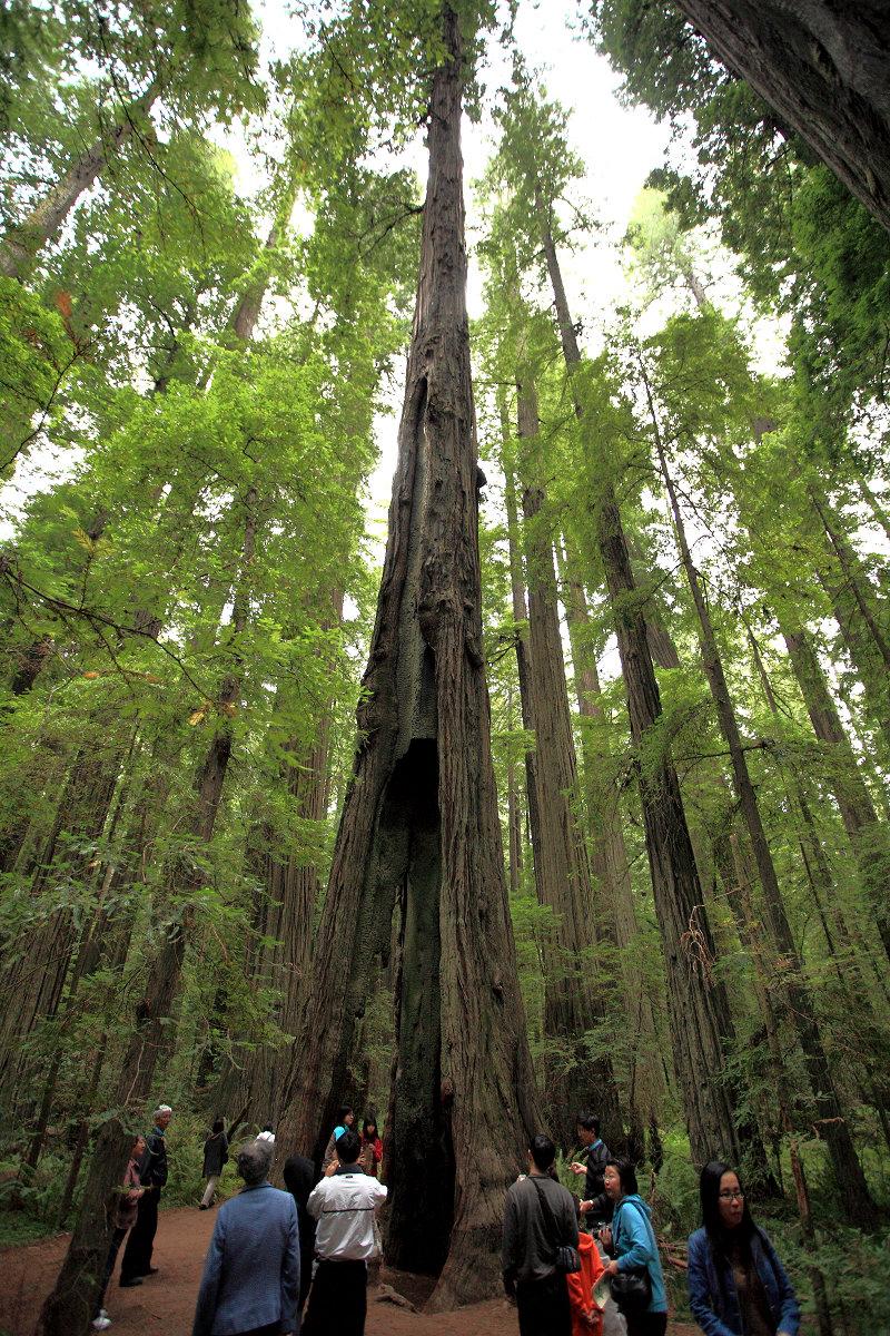 有洞的参天大树!