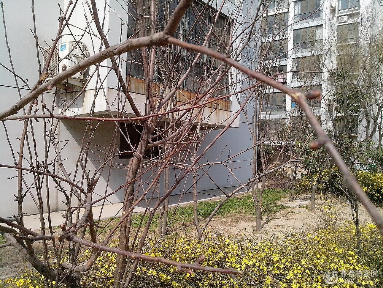 春天来了之柳树发芽了