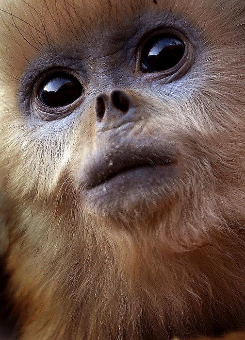 2007年,在陕西省周至县深山中走访一所贫困小学时,偶然得知离周至县城60多公里的秦岭深山中,有一群国家一级保护动物金丝猴出没。抱着好奇的心情,我踏上了通往大山深处山清水秀的玉皇庙村。 从玉皇庙村徒步二公里,野生动物保护站映入我的眼帘。经保护站工作人员介绍,这里常年生活着120多只野生金丝猴,其中有两个家族40多只被猴王赶到其他山头去了,这里尚生活着70多只。为了对金丝猴的生活习性进行研究,西北大学在这里建立了金丝猴研究基地。 我跟随着保护站的工作人员沿着原始森林小溪旁蜿蜒曲折的山路向金丝猴聚集地走去。远
