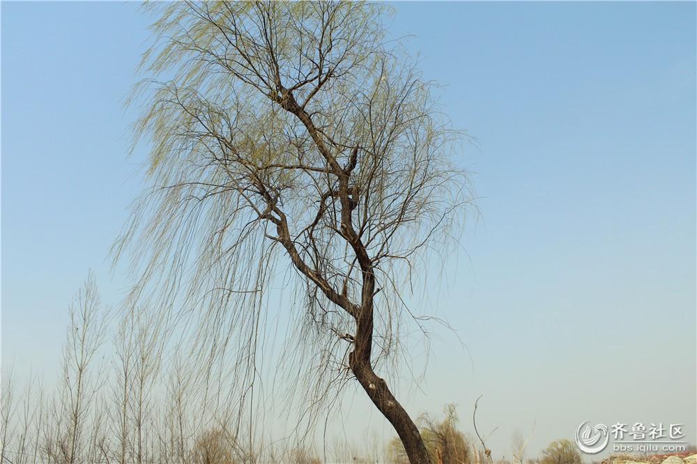 清明节将至-------村口的老柳树所思