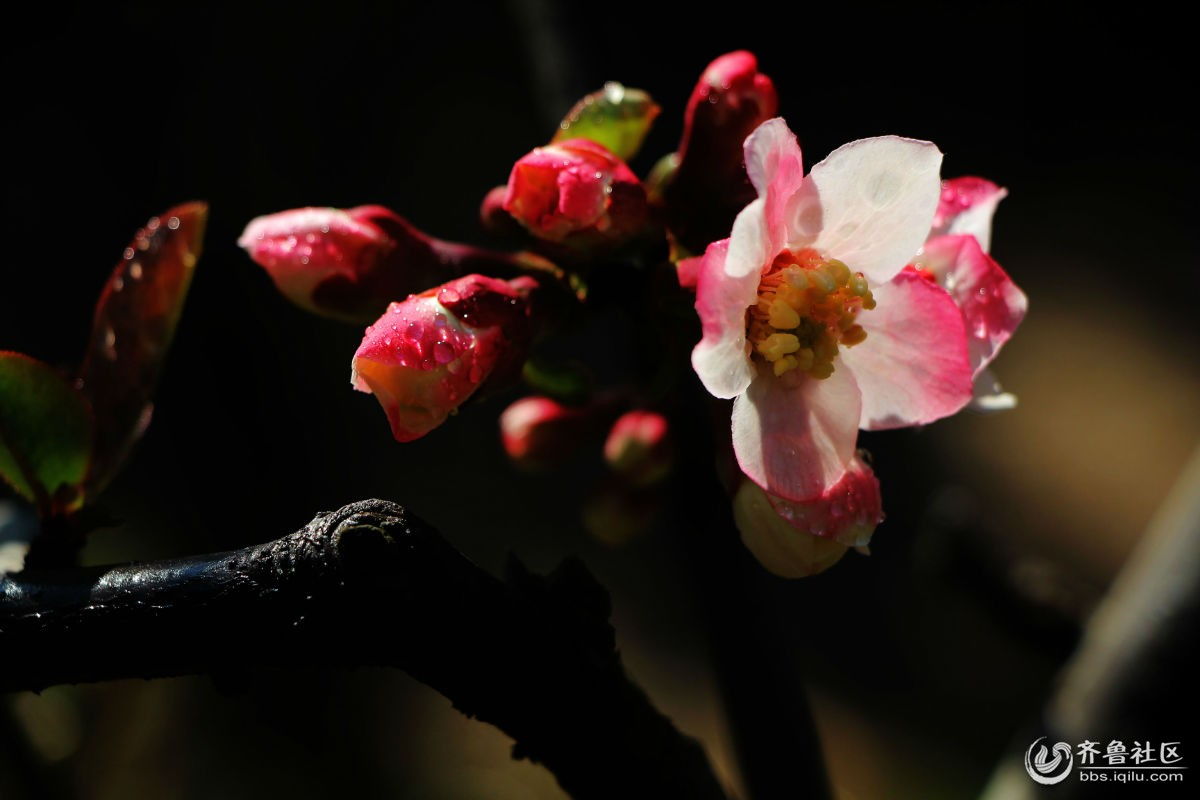 木瓜海棠开花了 - 泉城摄影部落