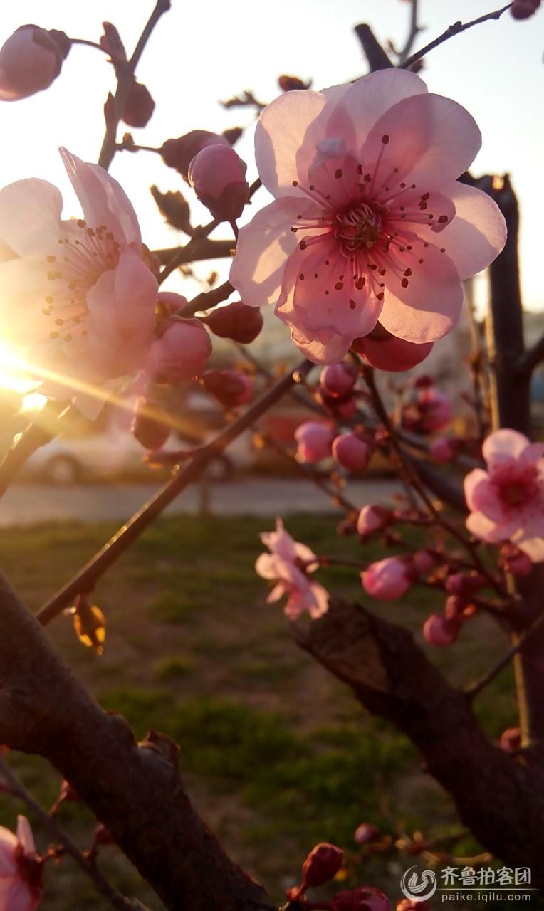 梅花竞相开放——春天的生机
