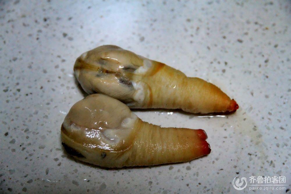 海里神物 象牙蚌