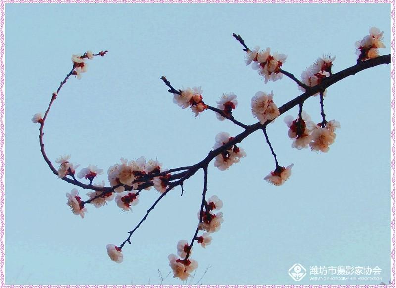 盛开的杏梅花