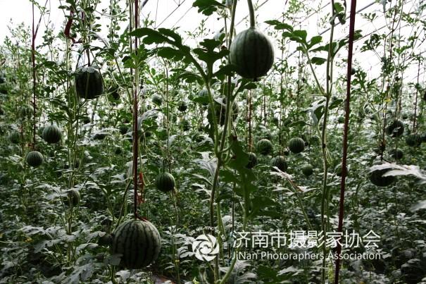 庄稼一枝花 - 济阳县