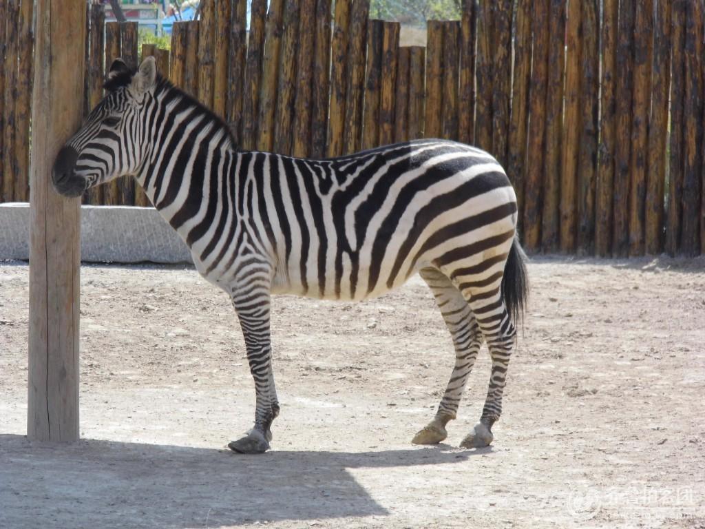 清明游黄河三角洲动物园之斑马