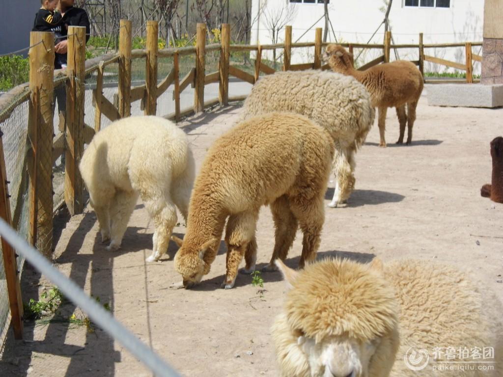 清明游黄河三角洲动物园之羊驼