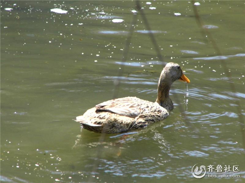 拍摄时间:2014年4月5日清明节 拍摄制作:圣玛歌美容院 拍摄地点:河边 无意间看到河里的几只小鸭在戏水,很有意思,就随手拍了下来,柳树下的小鸭在河里自由自在的玩耍,而且动作非常可爱,就是水被污染了,挺可惜的