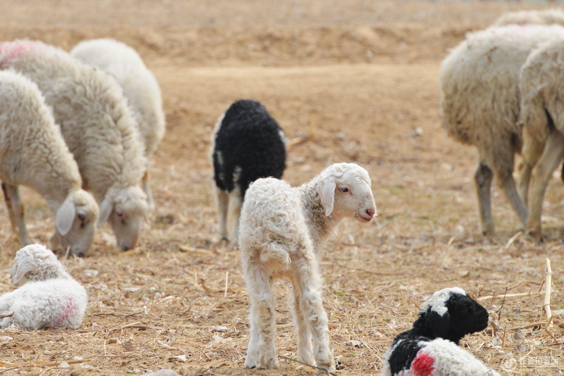 羊儿乖乖(出生仅两天的小羊糕)