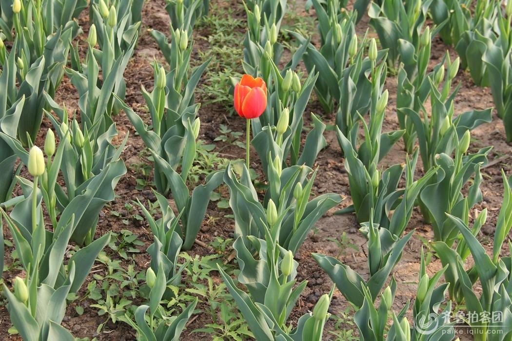 孤岛郁金香万花丛中一点红