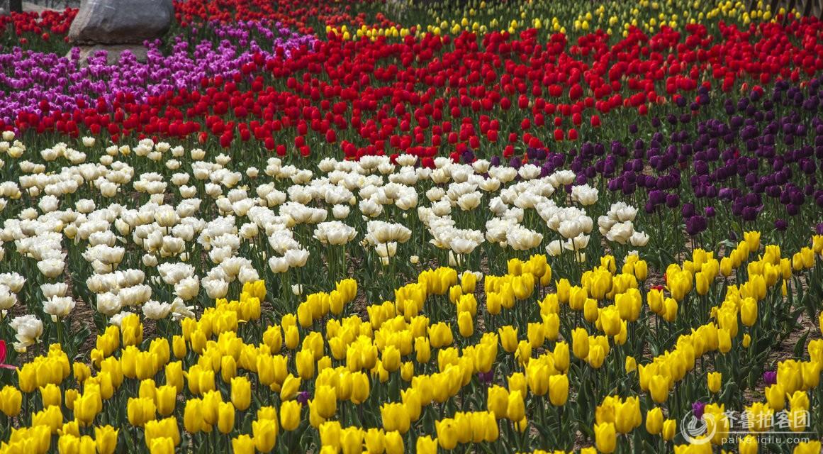 青岛中山公园樱花节是每年青岛的第一个节会,青岛樱花节的开花期从4月10日到25日,为期半个月。而双樱可以开到5月1日。比日本本土樱花开花要晚10天左右。尽管樱花欲开还遮,但此时连翘、梅花、榆叶梅等陆续怒放,竞相争春。园中按花期早晚搭配种植的28个品种、20万株郁金香次第开放,性急的阿波罗、斯切萨、蒙特卡罗都已展现芳容,而新增的火鹦鹉、春之绿、燃烧的爱等新品也将陆续与游客见面,整个花期可持续到五一以后。另外,满园的连翘正开得一片灿烂,榆叶梅、碧桃、海棠、紫荆、水蜜桃花、双樱等也
