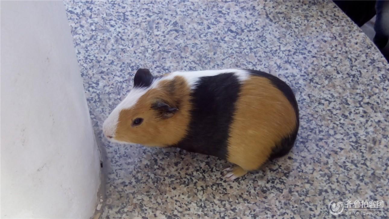 可爱的荷兰猪(*^_^*)