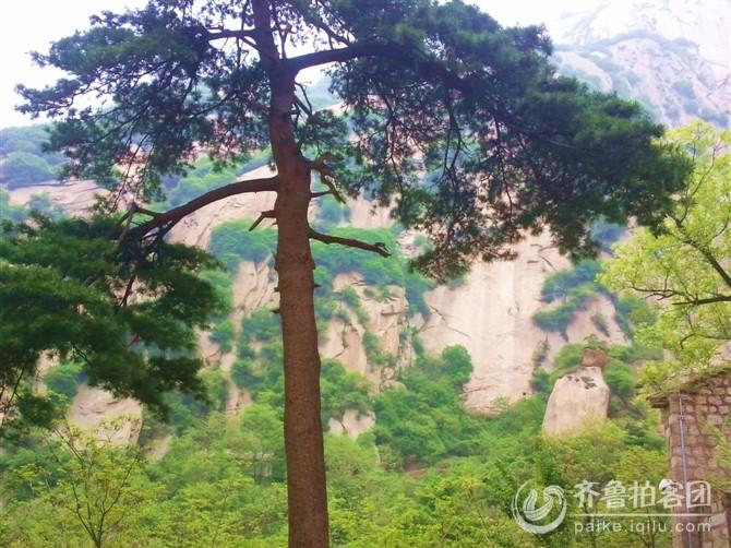 挺拔的松树