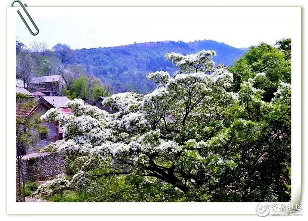 如果你对流苏树感兴趣的话,那就在我的文字和摄影作品的指引下,一起
