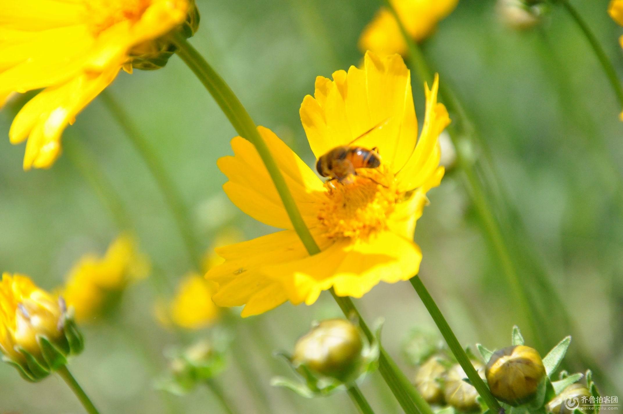 蜜蜂3 - 日照拍客 - 齐鲁社区 - 山东最大的城市生活