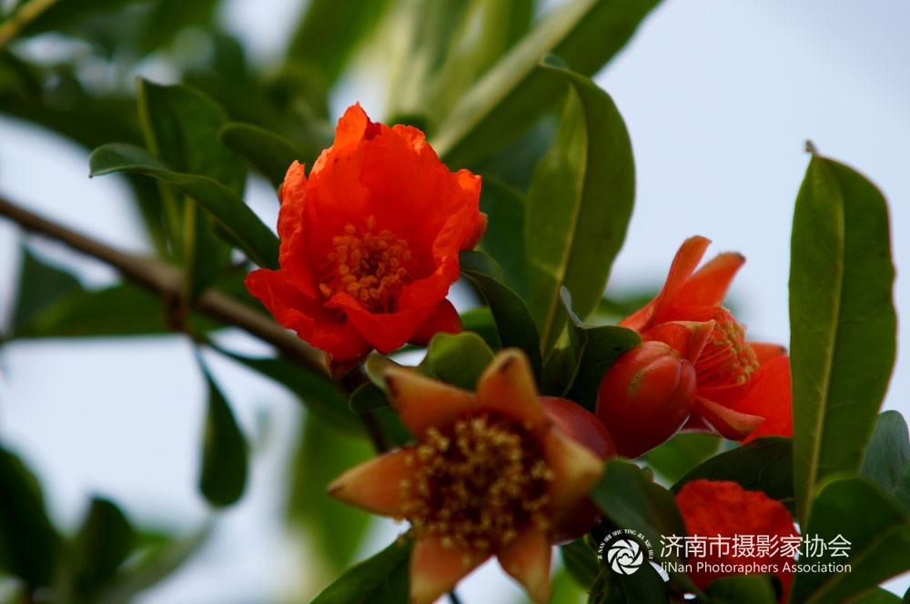 5042,五月榴花红如火(原创) - 春风化雨 - 诗人-春风化雨的博客